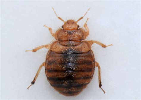Bed Bug Images Pictures Hesperocimex Coloradensis