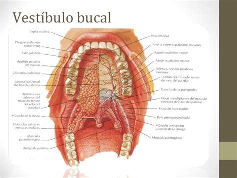 vestibulo oral que es clase digestivo