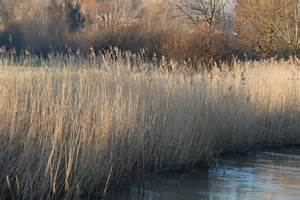 Pictures Of A File Reed Beds River Nadder At Harnham Jpg