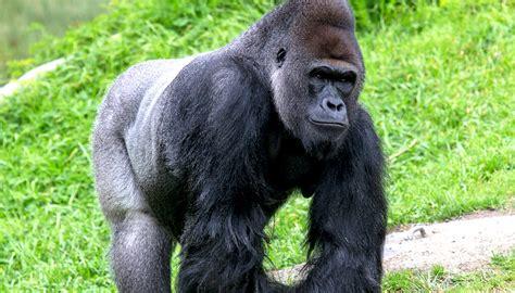 Western lowland gorilla | San Diego Zoo Kids