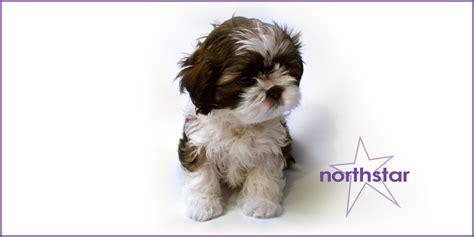 shih tzu rescue manchester shih tzu puppies adopt a adopt bg on shih tzu shih tzu and dogs shih tzu