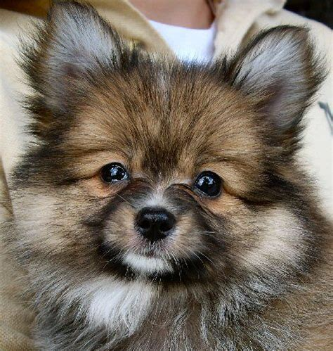 papillon and pomeranian mix paperanian designer pomeranian papillon mix we met one of these puppies