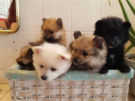 fluffy pomeranian puppies for sale uk adorable fluffy pomeranian puppies manchester greater manchester pets4homes