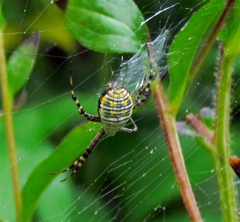 Garden Spider Argiope 22 Of The Spiders You Might Find In Michigan And One You