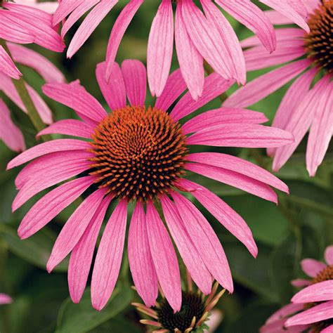 top 28 purple coneflower care purple coneflower