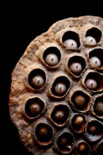 Lotus Pod Skin Lotus Pod Skin Lotus Seed Pod Holes Creepy Photos