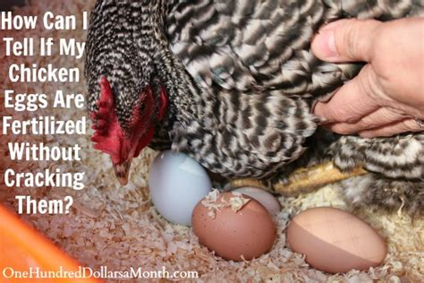 how can i tell how my is how can i tell if my chicken eggs are fertilized without cracking them one hundred