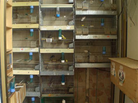 riproduzione canarini in gabbia fiumara rc cardellini rinchiusi in gabbie una denuncia