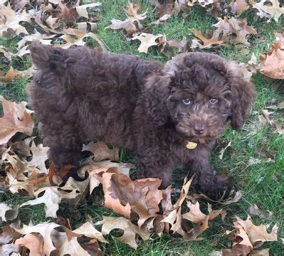 australian shepherd puppies for sale in tn best 25 australian shepherd poodle mix ideas on breeds cutest