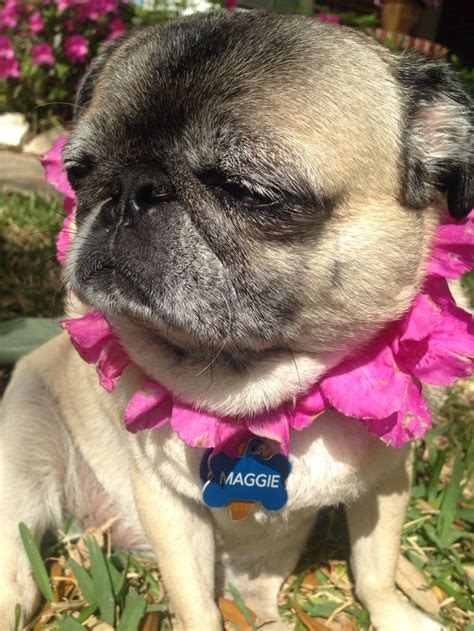 fancy dress pug and fancy dress pug croc images frompo