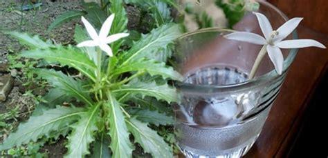 bunga kitolod  menyembuhkan mata rabun silinder