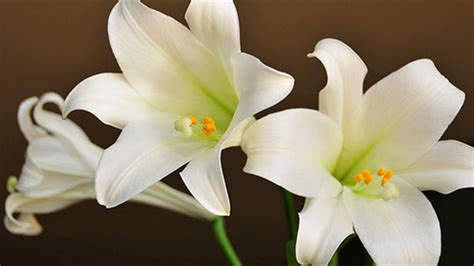 easter lilies images www pixshark com images galleries