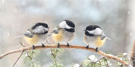 three chickadees on a branch birds and blooms