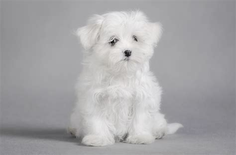 Truly Marvelous Tips For Taking Care Of Teacup Maltese Puppies