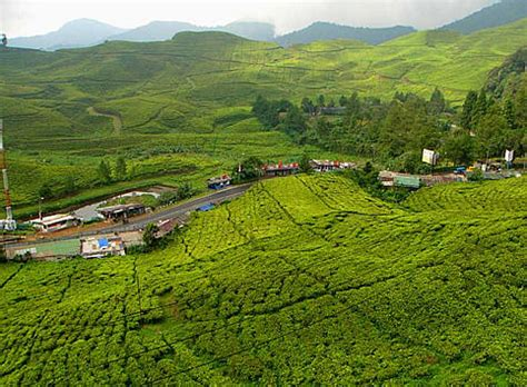 uganda tea estates  growers processors blenders