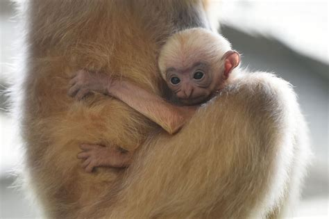 baby gibbon monkey baby gibbon born at twycross zoo hinckley times