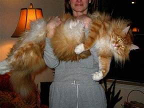 large domestic cat breeds