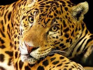 Is Jaguar Endangered Endangered Us Jaguars Catch A Will Get Their Own