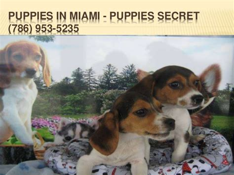 puppies for sale in miami fl puppies in miami fl