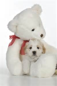 Teddy bear dogs pictures dog breeds picture