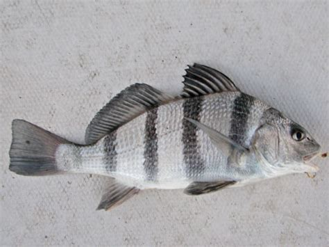 puppy drum fish of the chesapeake bay chesapeake bay news