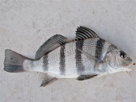 puppy drum fish fish of the chesapeake bay chesapeake bay news