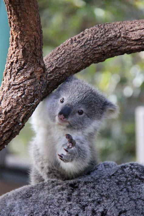 imagenes animadas koala best 25 koalas ideas on pinterest baby koala koala