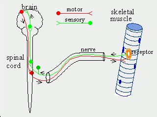 sensory motor and mixed nerves difference between sensory and motor nerves motor nerves