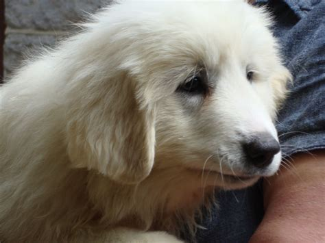 pyrenean mountain puppies pyrenean mountain puppies for sale sheffield south pets4homes