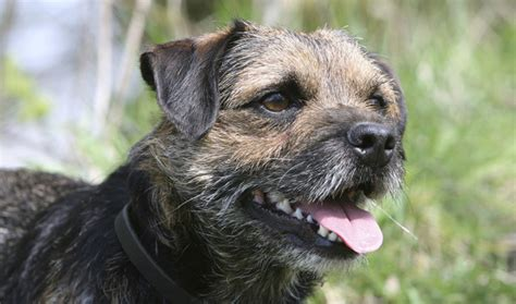 100 border terrier non shedding dogs that don