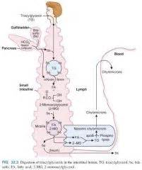 Lipids In Stool by Biochemistry 32 Digestion Transport Of Dietary Lipids