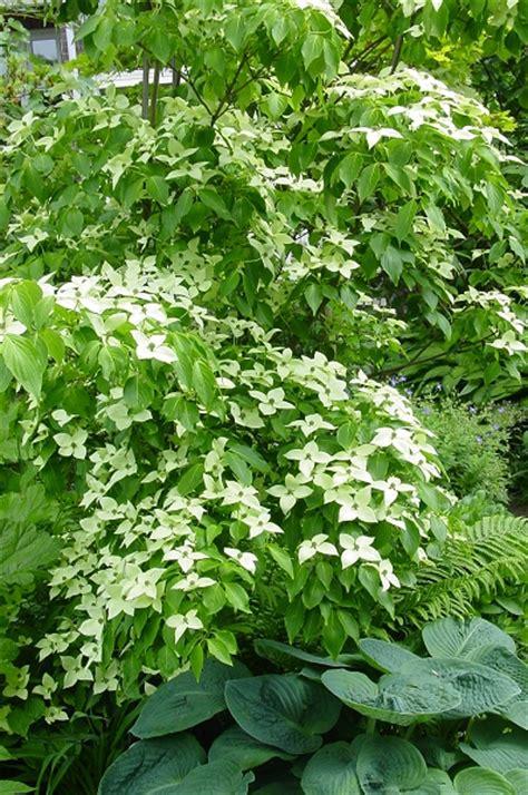 wit blad rode rand witte bloemen vijver cornus rob s blog
