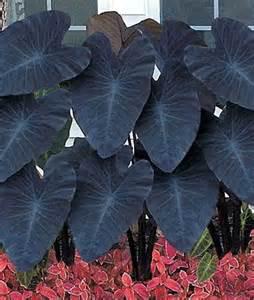 29 best images about coleus caladium colocasia on