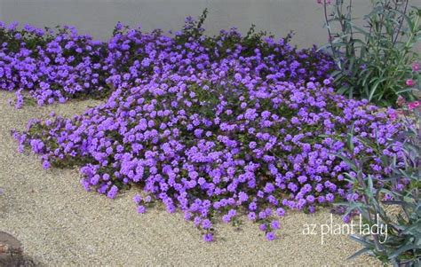flowering all year long purple trailing lantana good for zone 9a plant under lemon tree