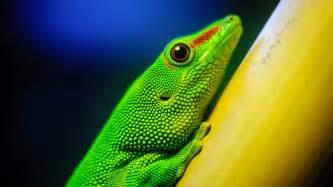 fond ecran hd nature animal reptile l 233 zard vert en gros