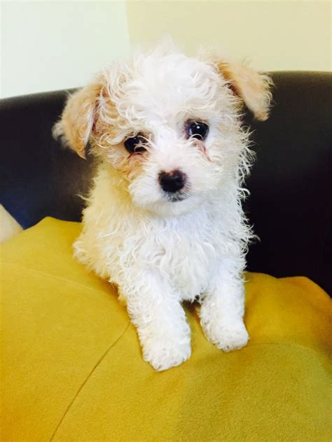 shiranian puppy shiranian puppies shih tzu x pomeranian south molton pets4homes