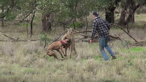 punches kangaroo to save goes toe to toe with a kangaroo to save