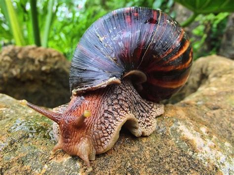 terrestrial snail pictures about animals giant african land snail snail facts and information
