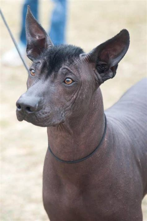 xolo puppies 25 best ideas about hairless on crested hairless animals