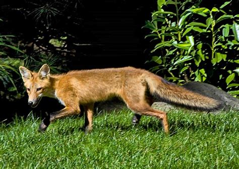 foxes in my backyard impressions images by joel schilling