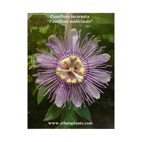 Passiflora Incarnata Pflanze Kaufen 3647 by Passionsblume Passiflora Incarnata Samen Kaufen