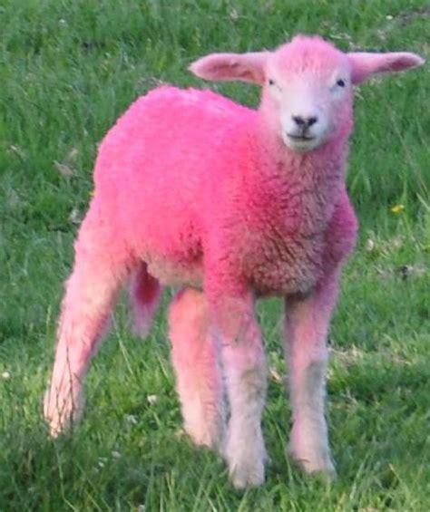 Sheep Pink pink sheep sheepies and some goats