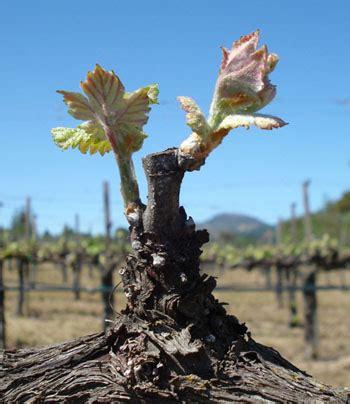 la poda pruning 8467703059 poda de las plantas de vid informaci 243 n general pruning grape vines an overview extension