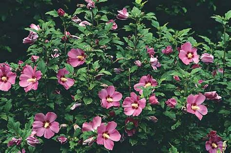 top 10 flowering shrubs flowering bushes birds blooms