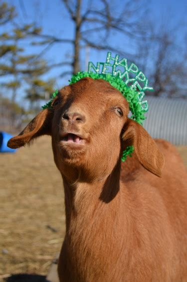 new year goat pictures another edition of alphabe thursday