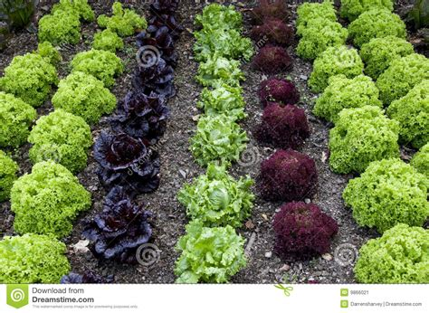 Cottage Kitchen Design cottage garden lettuce patch stock image image 9866021