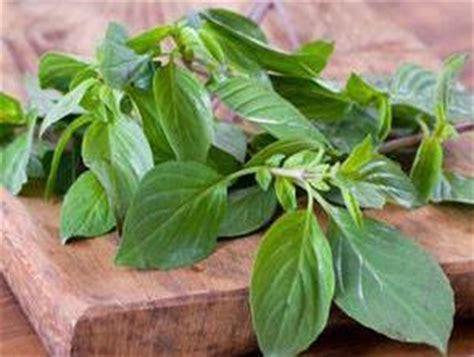 Tanaman Bumbu Daun Kari bumbu rempah bunga untuk masakan vera susanti