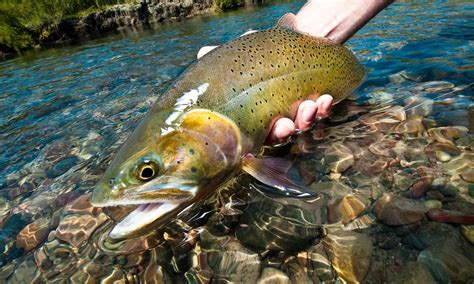 how to fly fish straight sections of trout water fly