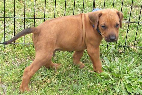 rhodesian ridgeback puppies price rhodesian ridgeback puppy for sale near east tx e7593a54 ad01