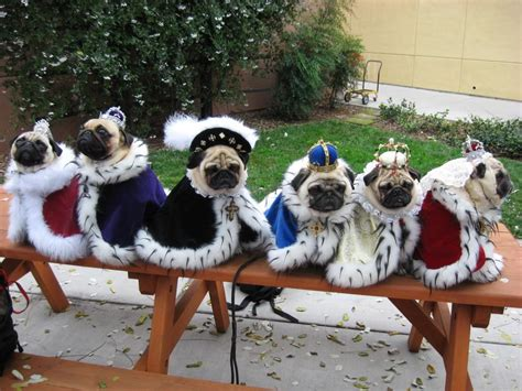 how pugs are made picture the 33 cutest pug pictures of all time